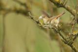 Eurasian Reed-Warbler (Kleine karekiet)