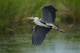 Grey Heron (Blauwe Reiger)