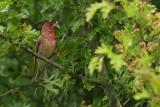 Common Rosefinch (Roodmus)