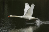 Mute Swan (Knobbelzwaan)