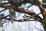 Hawk Owl (Sperweruil)