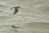 Common Sandpiper (Oeverloper)