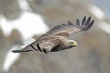 White Tailed Eagle (Zeearend)