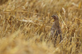 quail_and_partridge