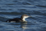 Black-throated Diver (Parelduiker)