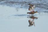 Common Redshank (Tureluur)