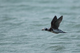 Long-tailed Duck (IJseend)