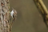 Short-toed Treecreeper (Boomkruiper)