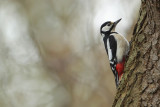 Greater Spotted Woodpecker (Grote Bonte Specht)