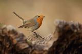 Robin (Roodborst)