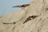 Sand Martin (Oeverzwaluw)