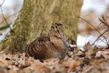 Woodcock (Houtsnip)