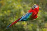 Red and Green Macaw (Groenvleugelara)