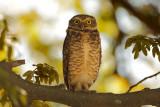 Burrowing Owl (Konijnuil)