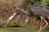 Black Stork (Zwarte Ooievaar)