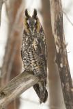 Hibou moyen-duc - Long-eared owl - Asio otus