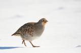 Perdrix grise - Gray partridge - Perdix perdix