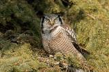 Chouette épervière - Northern hawk owl - Surnia ulula