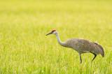 Grue du Canada - Sandhill crane - Grus canadensis