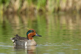 Sarcelle d'hiver - Green winged teal - Anas crecca