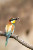 Guêpier d'Europe - European bee-eater - Merops apiaster