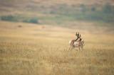 Antilope d'Amérique - Pronghorn - Antilocapra americana