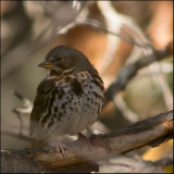 Common Song Sparrow
