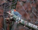 A Redbelly Woodpecker