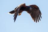 Hawk in Flight_2.jpg