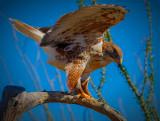 Ferruginous Hawk.jpg