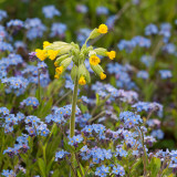 Cowslip in forget me nots