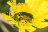 Green Beetle (possibly Chrysolina herbacea )