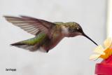 Hummingbirds, Nimble Musicians of the Air