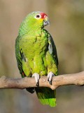 Red-lored Amazon