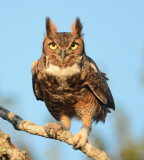 Great Horned Owl Wins Featherfest Contest