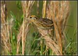 LeContes Sparrow