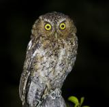 Bare-Shanked Screech Owl