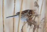 Sävsparv, male, winter plumage