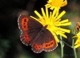 Butterfly - Fjärilar i Sverige