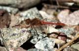 Dragonfly - Trollsländor i Sverige