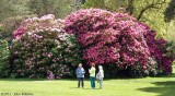 Giant Rhododendrons