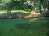 Bronx Zoo tiger