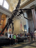 AMNH Barosaurus