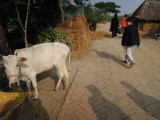 Regular cow