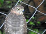 Some sort of bird of prey hanging around in our Dehradun backyard