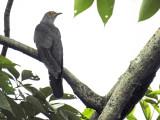 Lesser Cuckoo?  Grey Cuckoo?