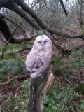 Tawny Owl (young bird)