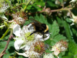 Gipsy Cuckoo Bumblebee