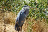 GRAY HERON AT ESQUIMALT LAGOON