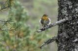 Robin  / Rødstrupe